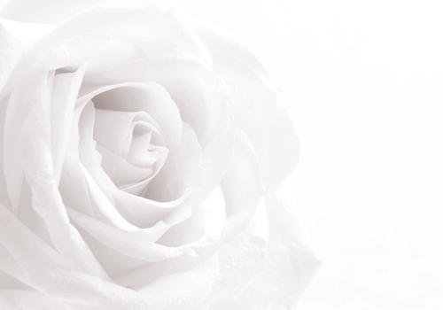 略奪愛に効果がない白い薔薇の画像
